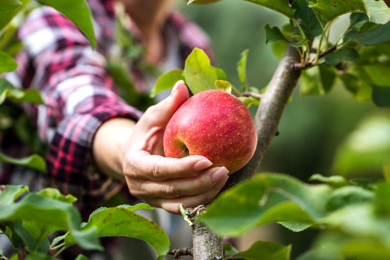 Frau pflückt im Herbst einen roten Apfel von Baum