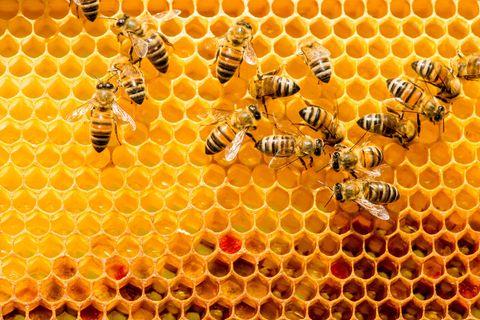 Nahaufnahme von Bienen auf einer Honigwabe