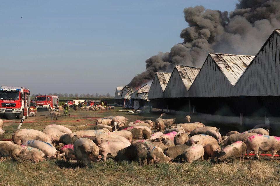 Nur rund 1300 Schweine überlebten die Brandkatastrophe von Alt Tellin. Wie lange, ist nicht bekannt