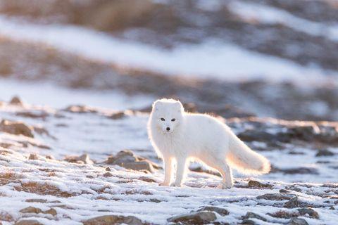 """30.09.2021      """"Dieser Polarfuchs (Vulpes lagopus) hat uns aufmerksam beobachtet, während wir wiederum den Sonnenuntergang beobachtet haben. Das traumhafte Licht hat ihn wunderbar in Szene gesetzt.""""      Kamera:Canon 6D, Sigma 150-600mm  Ort:Svalbard Spitzbergen"""