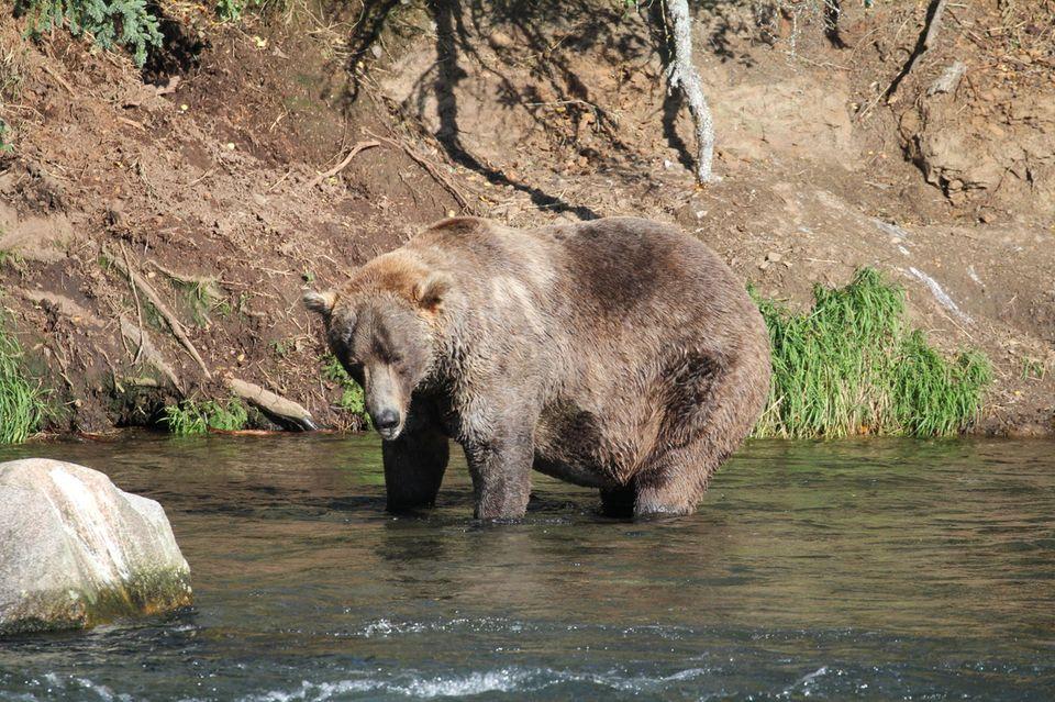 Braunbär Otis steht in einem Fluss