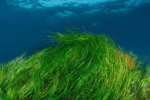 Im Sommer bildet Seegras seine Samen aus, die sich etwa zu Mehl und Nudeln verarbeiten lassen: das Sea Food der Zukunft?