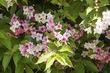 Liebliche Weigelie (Weigela florida) in Frühlingsblüte