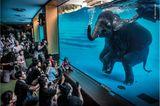 Wildlife Photographer of the Year: Unterhaltung oder Ausbeutung? In Elefantenshows wie dieser werden Tiere dazu gebracht, unnatürliches Verhalten zu zeigen. In Thailand gibt es mittlerweile mehr Elefanten in Gefangenschaft als in ihrem natürlichen Lebensraum
