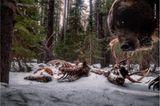 Wildlife Photographer of the Year: Das letzte Bild: Der Grizzly interessierte sich offenbar nicht nur für die Überreste eines Wapiti-Hirsches, sondern auch für den Aufbau der Kamerafalle - und verwüstete sie