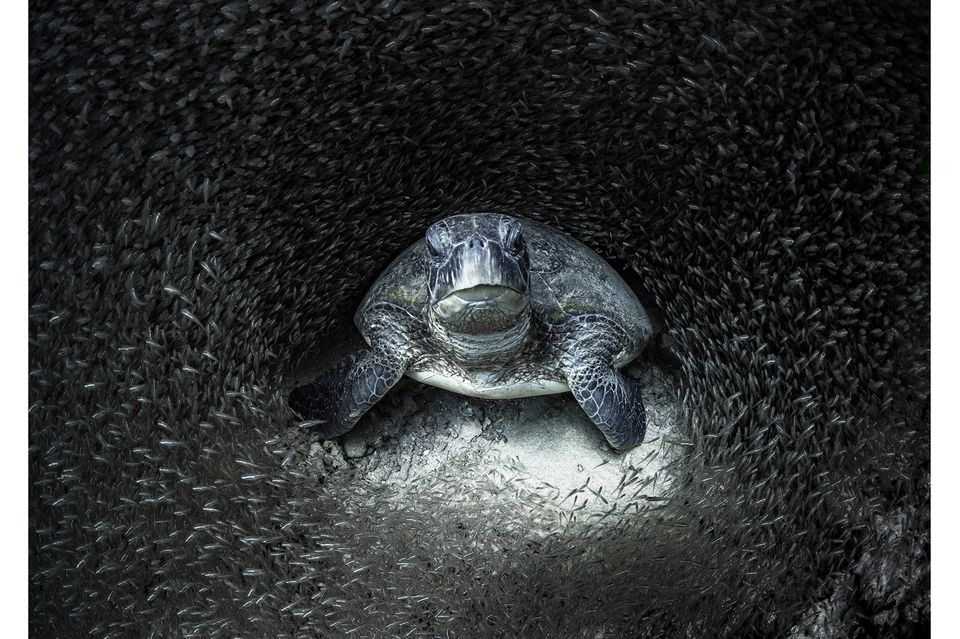 Durch den Tipp einer Kollegin wurdeAimee Jan auf eine Grüne Schildkröte inmitten eines Fischschwarms aufmerksam.Mit der Aufnahme, die im Ningaloo Reef in Western Australia entstand, gewinnt die Fotografin denOcean Photography Awards