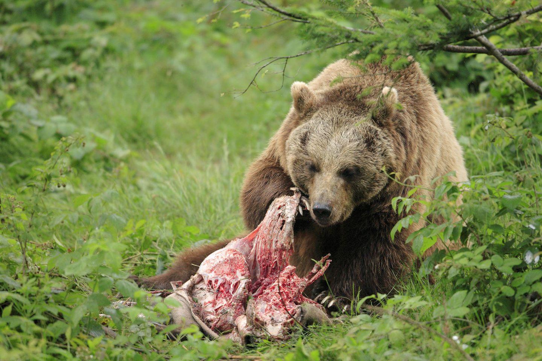 Naturkreisläufe: Der Tod, ein Lebensspender: Wie Kadaver unseren Ökosystemen dienen