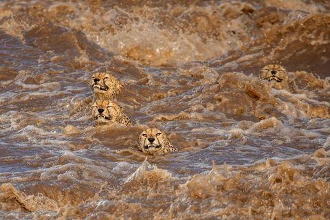 """Starke Regenfälle verwandeln den australischen Talek-Flussin eine gefährliche Strömung. Fünf männliche Geparden versuchen das reißende Gewässer zu durchqueren und erreichen zur Erleichterung des Fotografen die andere Seite. Buddhilini de Soyzaw wird mit diesem Bild Sieger in der Kategorie """"Wildlife""""."""
