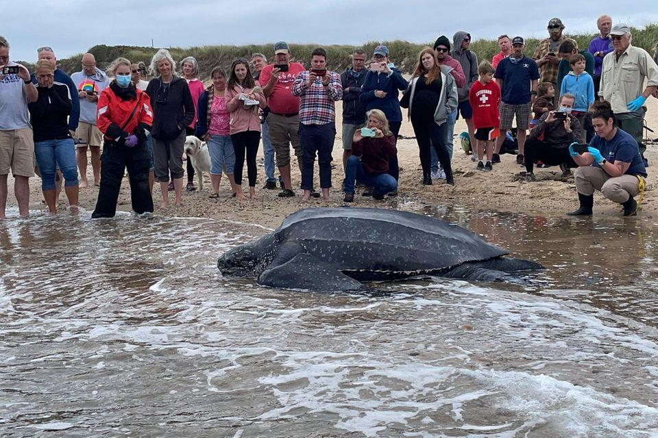 Das 270 Kilogramm schwere Tier robbt sich nach seinem unfreiwilligen Landgang zurück in die Freiheit