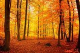 Buchenwald von Grumsin im Herbst