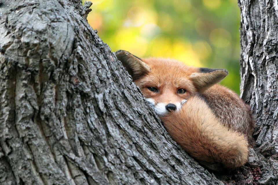 """19.10.2021      """"Dieser junge Fuchs hat die Angewohnheit seine Tage hoch oben in einem Baum zu verbringen. Vermutlich weil er dort vor etwaigen Störungen durch Hunde sicher ist. Ein tolles Highlight in einer sonst hektischen Stadt!""""      Ort: Wiesbaden  Kamera:Canon 5D IV mit Sigma 150-600mm Contemporary  Mehr Fotos vonDennis Rodler"""