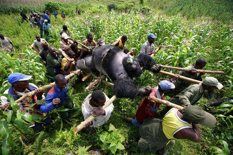 Dies ist das Bild, das Brent Stirtons Leben veränderte: der Silberrücken Senkwekwe, mit fünf weiteren Gorillas hingerichtet in Virunga, darunter die Mutter des Babys Ndakasi, auf Geheiß eines korrupten Beamten und als Warnung an die Ranger. Sein Foto öffnet ihm Türen, vor allem aber lernt er, dass sich die Welt mehr für seine Bilder interessiert, wenn Tiere leiden