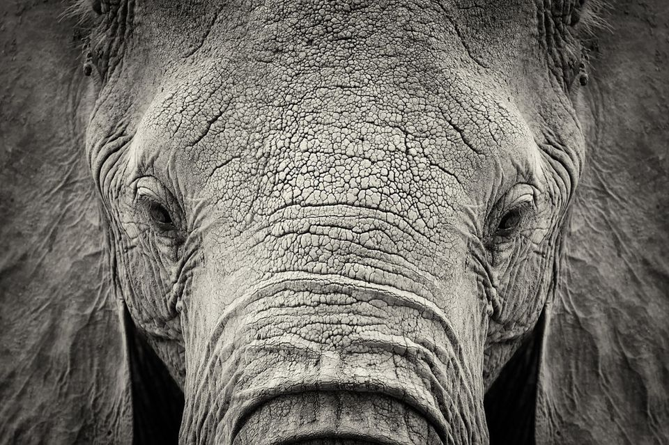Elefant ohne Stoßzähne