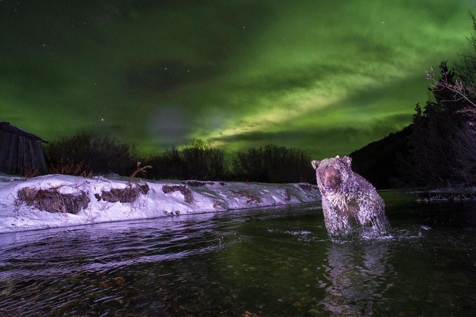 Eiskristalle wachsen am Fell des Bären, der im Yukon unter Nordlichtern Lachse jagt. Er ist in eine von Mathers Fotofallen getappt