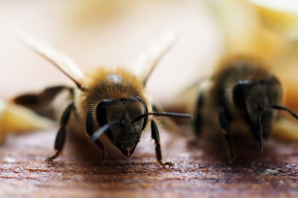 Um den Genpool der eigenen Bienenvölker zu stärken, importiert Australien Bienenköniginnen aus Europa