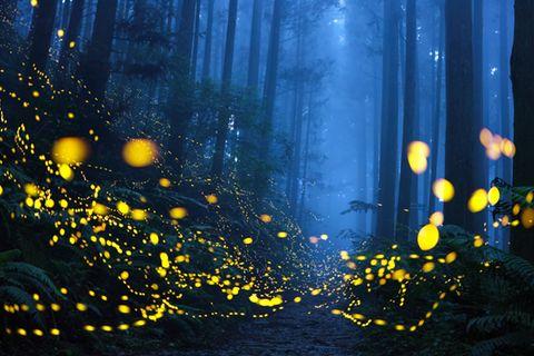 """Märchenhaft ging es zu in einem Waldstück, in das Shirley Wung auf einem Bergweg einbog und sich plötzlich in einem grünen Glitzern wiederfand. Verheißungsvoll funkelten lauter Glühwürmchen in der Dunkelheit. Für diese atmosphärische Aufnahme erlangte die aus Taiwan stammende Fotografin den ersten Preis in der Kategorie """"Schönheit der Natur"""". Dies ist nicht ihr erster Sieg – Shirley Wung gewann bereits mehrere internationale Fotowettbewerb"""