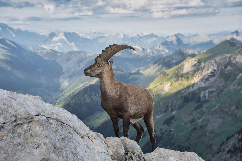 """26.10.2021      """"Zur Morgenstund posiert ein Steinbock vor der schönen Berglandschaft.""""      Ort:Alpstein  Kamera:Nikon Z7 mit Nikon Nikkor Z 24-200mm / 4.0-6.3 VR  Mehr Fotos vonMatthias Burkhard"""