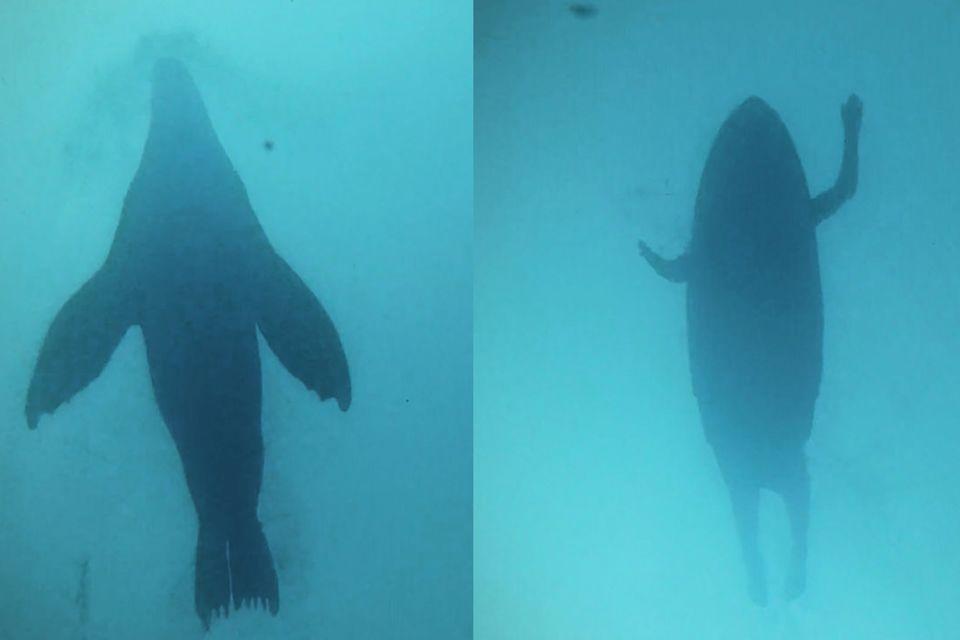 Ansicht von unten - links: eine Robbe, rechts: ein Mensch auf einem Surfbrett